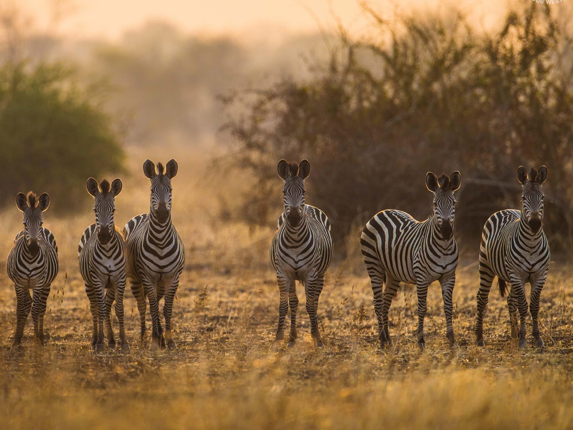 Safari Zebras Sambia Luambe Camp Pirschfahrt