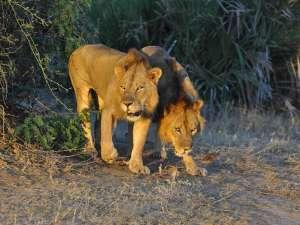 Löwen im Sonnenuntergang