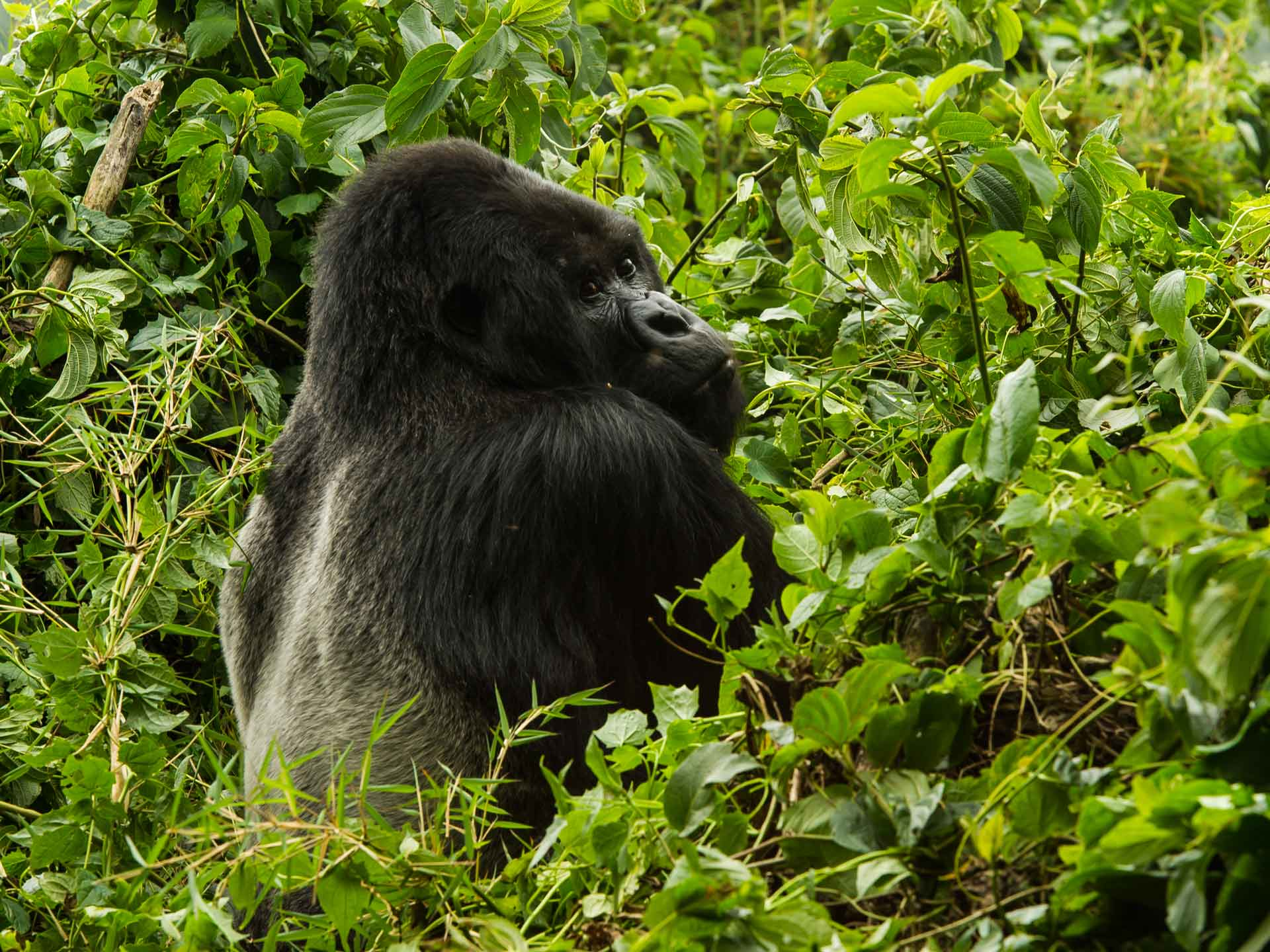 Gorilla Trekking Silberrücken Ruanda Bisate Lodge Wilderness Safaris