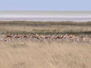 Namibia Safari Etosha Park Springbok Pirschfahrt