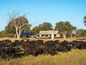 Simbabwe Linkwasha Camp Büffel Hwange Nationalpark