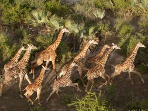 Tansania Luxusreise Chem Chem Lodge Tarangire Safari Giraffen