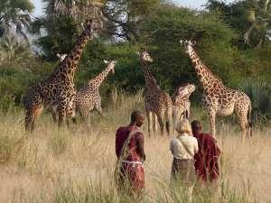 Tansania Chem Chem Lodge Tarangire Giraffen Walking Safari